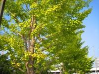 街路樹の紅葉はまだまだ…
